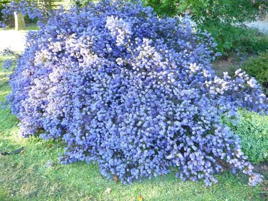Ceanothus 39 blue sapphire 39 growell plants growell plants for Blue flowering bush