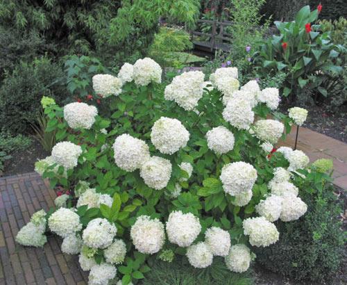 Hydrangea u0026#39;Limelightu0026#39; - Growell Plants : Growell Plants