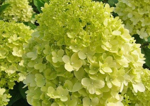 Hydrangea-paniculata-'Limelight'-feat