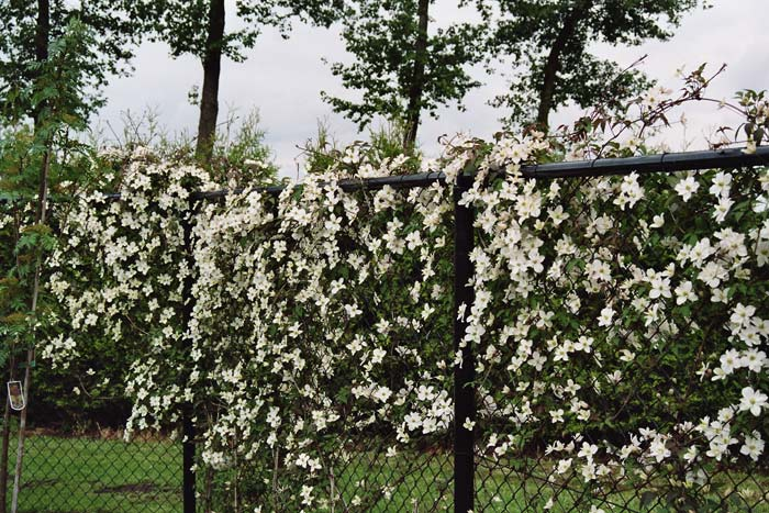 clematis montana 39 morning yellow 39 growell plants. Black Bedroom Furniture Sets. Home Design Ideas