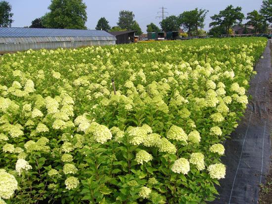 Hydrangea-paniculata-'Limelight'-(17)