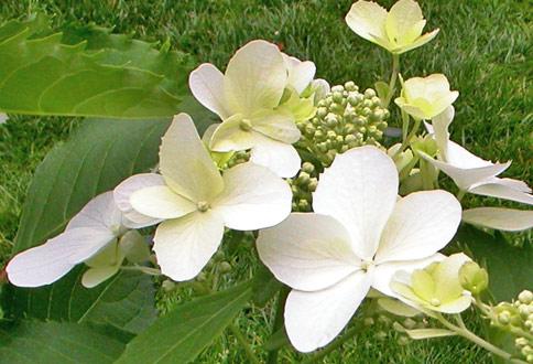 Hydrangea Levana